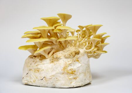 Lemon oyster mushrooms grown on a substrate at home from mycelium