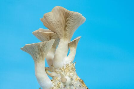 fresh royal oyster mushrooms for cooking vegetarian foods with a large amount of protein 版權商用圖片