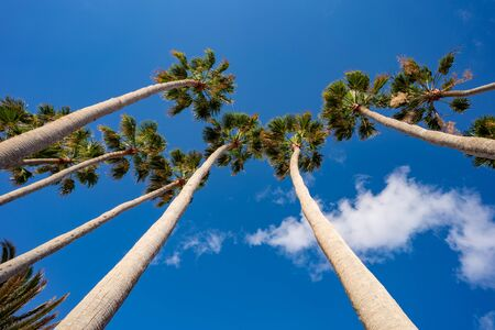 View of a cluster of tall palm trees against a clear blue sky in a park