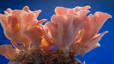 pink oyster mushrooms on blue background