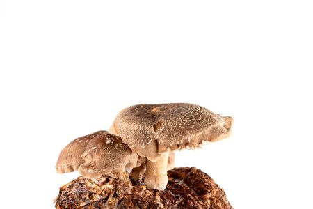 Shiitake mushroom isolated on white background.  It is considered a medicinal mushroom in some forms of traditional medicine Standard-Bild