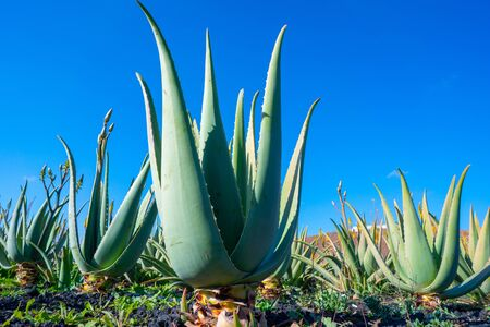 Plantation of medicinal aloe vera plant in the Canary Islands. Aloe Vera in farm garden  in desert Furteventura