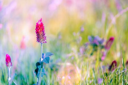 Abstract blurred nature background clover flower. Abstract nature bokeh pattern Stock Photo