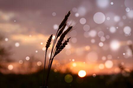Wheat ears on sunset background with bokeh effect. 版權商用圖片