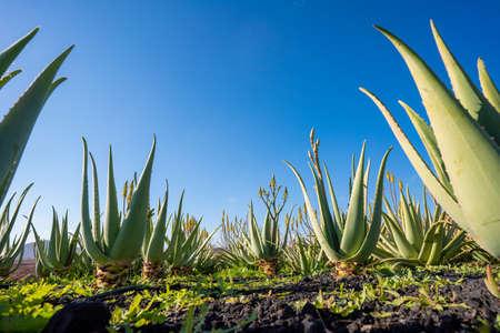 Plantation of medicinal aloe vera plant in the Canary Islands. Aloe Vera in farm garden in desert Furteventura 写真素材 - 154888871