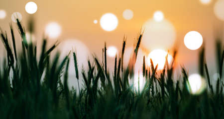 Wheat field at sunset with bokeh effect