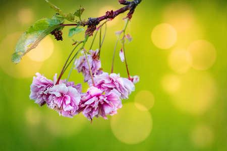 Pink sakura flowers on bokeh background 写真素材