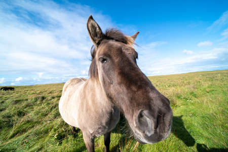 Horses graze on a green meadow in Iceland