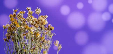 dried wild flowers chamomile herbarium on bokeh background