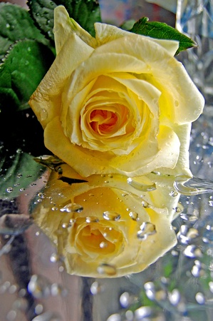The yellow rose on the wet table,reflection,woter drops Stock Photo - 10674896