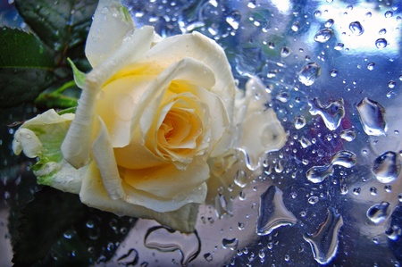 The yellow rose on the wet table,drops photo
