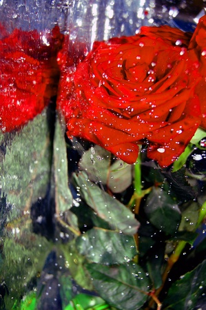 Red Rose in a wet pack,water drops,reflection Stock Photo - 12428660