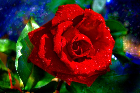 The red Rose,green leaves,woter drops Stock Photo - 13119497