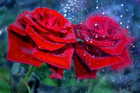 mirror on the water: A red rose is in an evening mirror,water drops