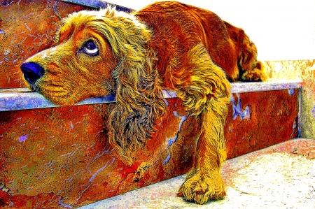 A portrait Cocker Spaniel, dreammy eye