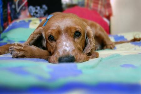Cocker Spaniel Augen, Hund Frisur Stockfoto - 16135649