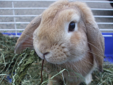 rabbit cage: Pet bunny in a cage eating grass Stock Photo