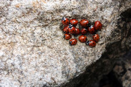 Large group of Harlequin ladybird (Harmonia axyridis). Invasive ladybirds in rocks. Ladybugs
