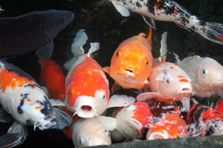 Colorful fancy carp koi young fish in clear and clean water in top view in Taipei, Taiwan