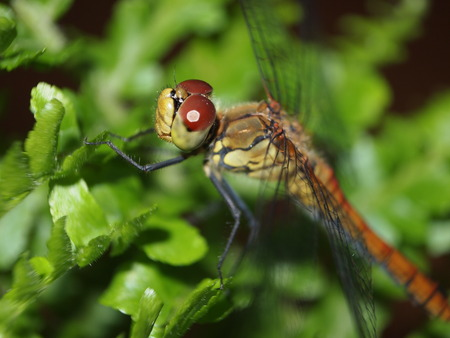 macrophotography: dragonfly