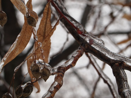 tilo: linden tree