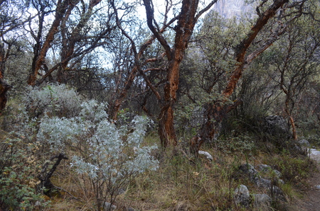 ancash: Woods on Huascaran National Park, Ancash, Peru