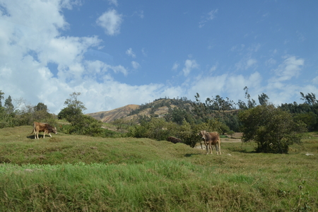 ancash: Cows grazing, Ancash, Peru Stock Photo