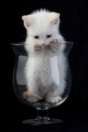 white cat drinks