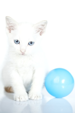 white baby cat with blue ball