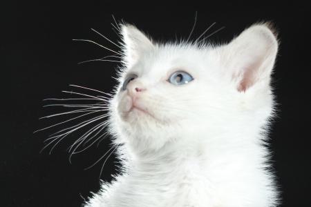 white cat head Stock Photo - 17723305