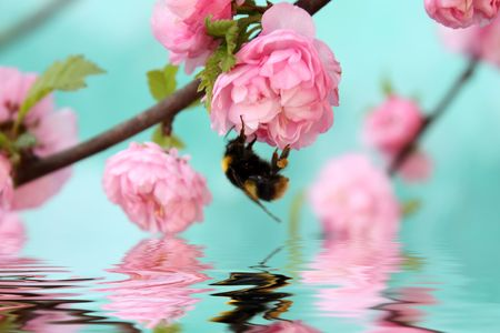 Bumblebee on rose flower with reflection in rendered water.