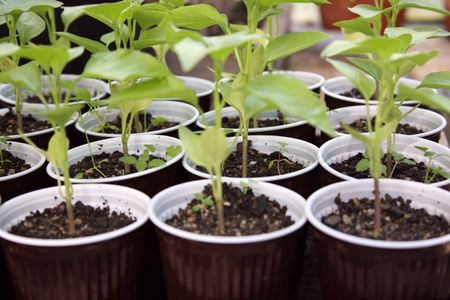 Seedlings of plants in glass house. Stock Photo