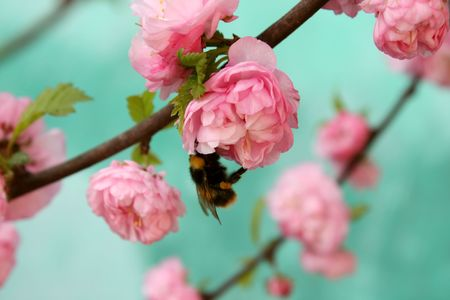 Bumblebee flying scene on wild rose petals.