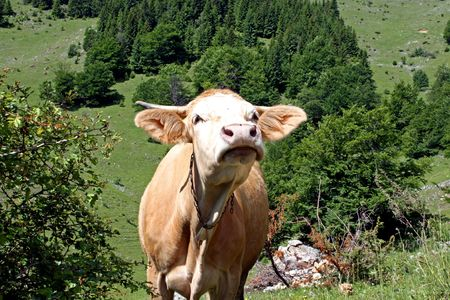 Courious cow in pasture scene on field, somewhere in Transylvania Stock Photo - 5023153