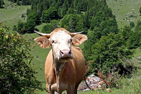 Cow on field somewhere in Transylvanian mountains Stock Photo - 5023152