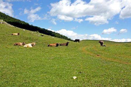 Cows in pasture scene somewhere in Transylvania Stock Photo - 5023113
