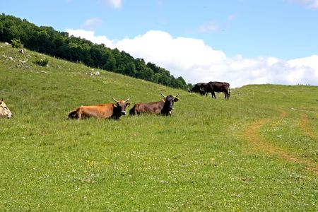 Lazy cows on mountain field from Transylvania Stock Photo - 5023118