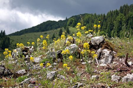 Mountain flowers in natural environment