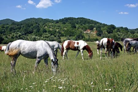 Horses in pasture scene on Transylvanian meadow
