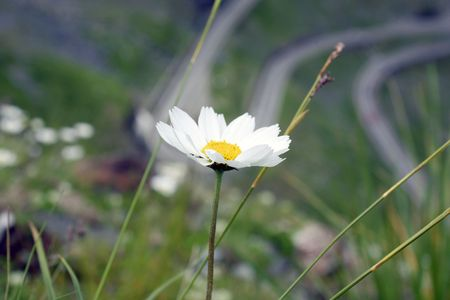 Mountain flower in Transfagarasan landscape photo