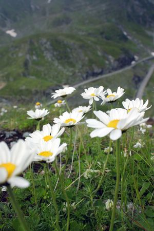 Beautiful mountain flowers in Transfagarasan valley photo