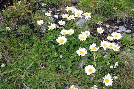 Small white alpine flowers from Transfagarasan photo
