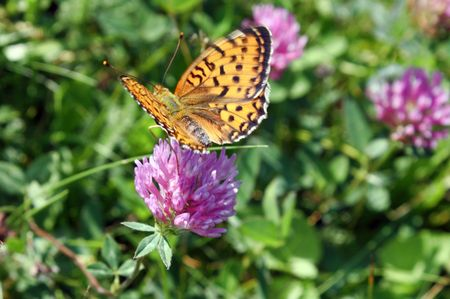 countrysides: A Butterfly restingfeeding on a clover flower. Stock Photo