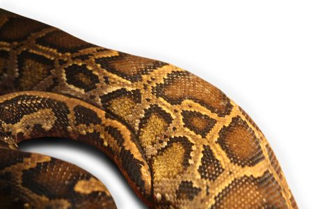 deadly dangerous: Beautiful body of a python snake