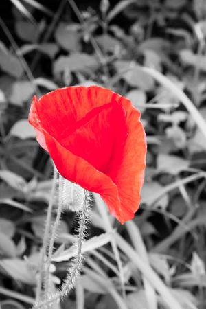 Poppy flower with monochromatic field in background Stock Photo - 7516092