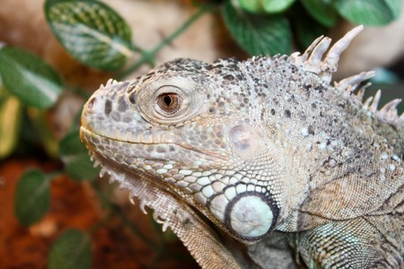 preoccupied: Pic of a iguana in captivity