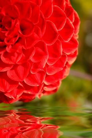 dalia: Flor de Dahlia reflejada en el agua  Foto de archivo