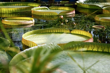 Giant water lily with circular leaves. photo