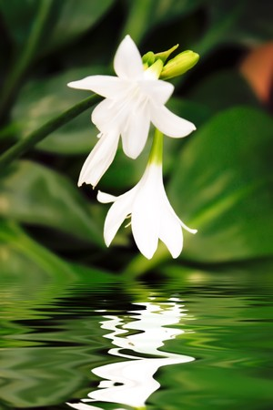 Beautiful white flower reflected in water photo