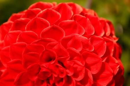 Delicate Dahlia flower in autumn season photo